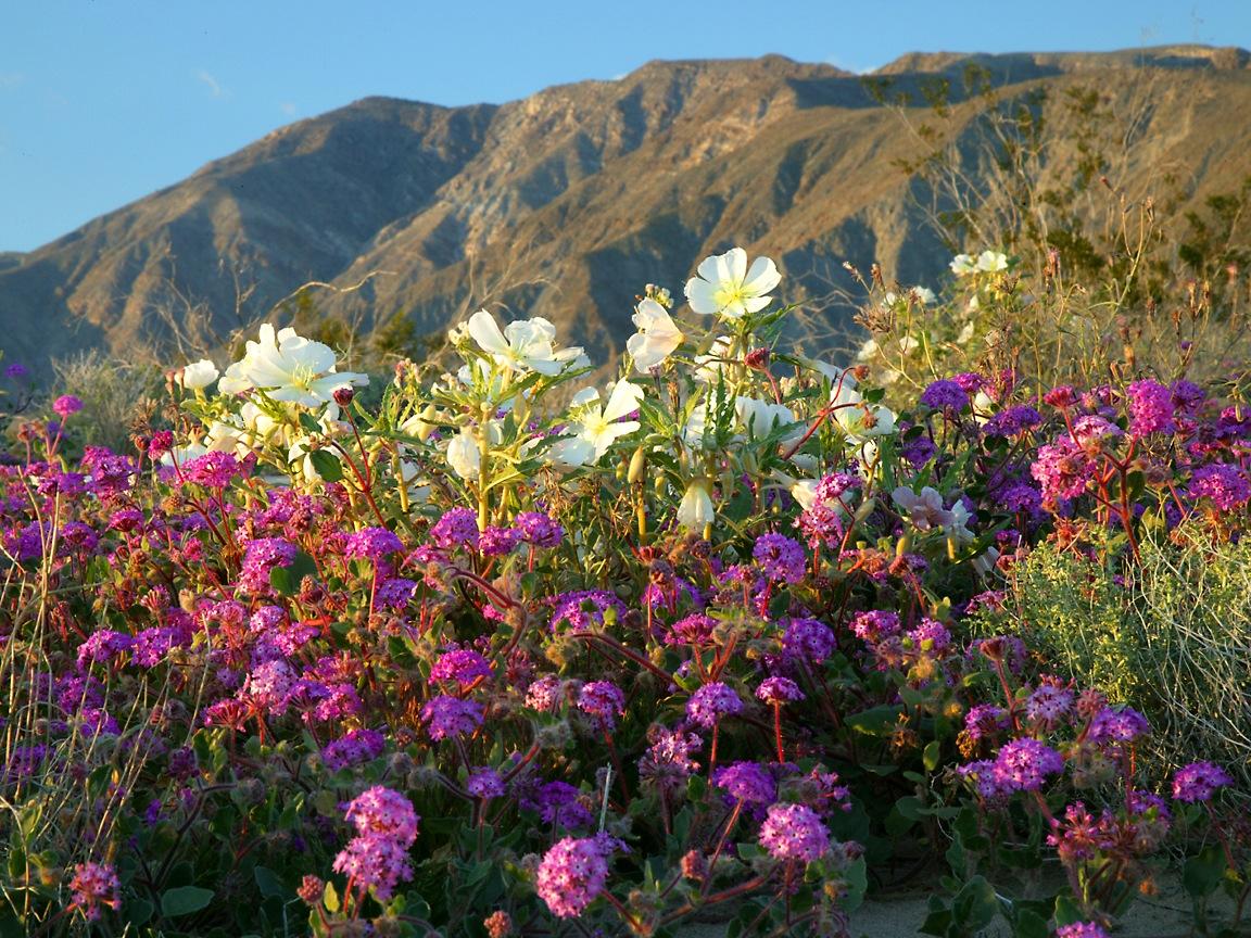 Springtime Desert Flowers Pastors Postings